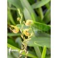 Orchid 'Scaphosepalum verrucosum 'S''