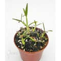 Miniature orchid 'Scaphyglottis prolifera' 'S'