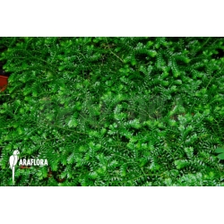 Selaginella species Costa Rica