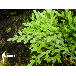 Selaginella serpens