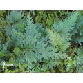 Selaginella willdenowii 'Peacock fern'