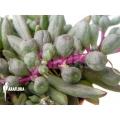 Senecio herreianus Purple Flush