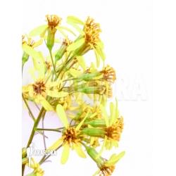 Senecio petasites flower