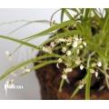 Orchid 'Sigmatostalix radicans'