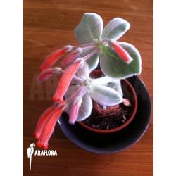 Sinningia leucotricha flower
