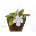 Sinningia muscicola flower