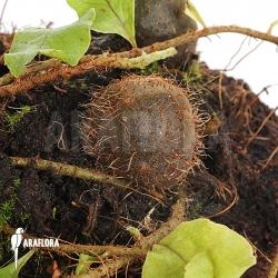 Solanopteris brunei