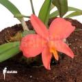 Orchid 'Sophronitis wittigiana'