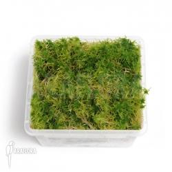 Spaghnum moss starter