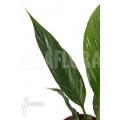 Spathiphyllum variagated 'WB'