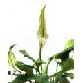 Spathiphyllum x 'Araflora mini'