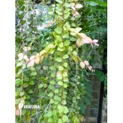 Sphyrospermum species Ecuador