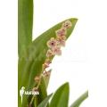 Orchid 'Stelis species klein'