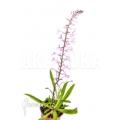 Orchid 'Stenoglottis longifolia'