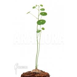 Stephania erecta