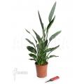 Bird of paradise plant 'Strelitzia reginae'