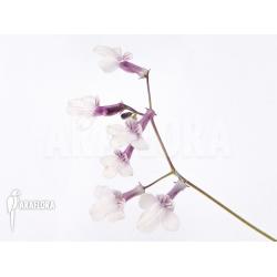 Streptocarpus caulescens ssp pallens