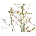 Triggerplant 'Stylidium caespitosum'