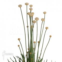 Syngonanthus chrysanthus 'Mikado'