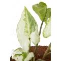 Syngonium podophyllum 'Three Kings'