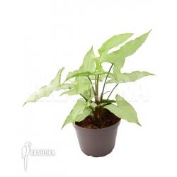 Syngonium podophyllum arrow RT