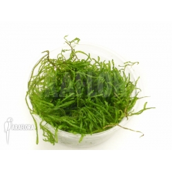 Taxiphyllum Flame moss
