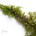Fern moss 'Thuidium moss species'