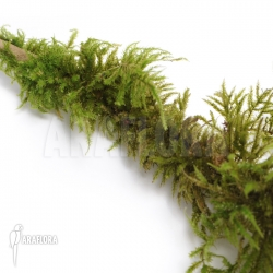 Thuidium moss species