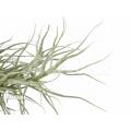 Bromeliad 'Tillandsia arhiza'