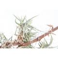 Bromeliad 'Tillandsia bandensis'