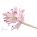 Tillandsia cacticola (L)
