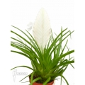 Tillandsia cyanea 'Ivory tower'