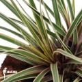 Bromeliad 'Tillandsia cyanea 'variagated'