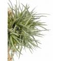 Bromeliad 'Tillandsia dorotheae´
