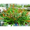 Bromeliad 'Tillandsia flabellata´