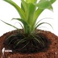 Bromeliad 'Tillandsia heterophylla'