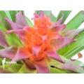 Bromeliad 'Tillandsia imperialis´