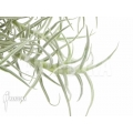Bromeliad 'Tillandsia landbeckii´ ´S´
