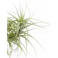 Bromeliad 'Tillandsia latifolia´ 'Minor type'