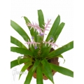 Bromeliad 'Tillandsia laxissima´
