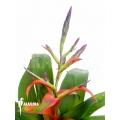 Bromeliad 'Tillandsia leiboldiana var. Guttata'