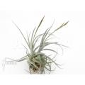 Bromeliad 'Tillandsia lorentziana´