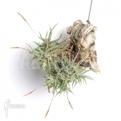 Tillandsia rectangula