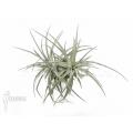 Bromeliad 'Tillandsia xiphioides´