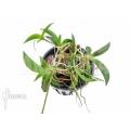 Orchid 'Tolumnia hawkesiana'
