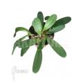 Orchid 'Tribulago tribulorides'