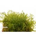 Tropical pellia moss neblina 'Monosolenium tenerum 'Neblina'