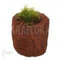 Tropical pellia moss neblina 'L' 'Monosolenium tenerum 'Neblina'