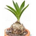Urginea altissima 'L'