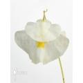 Bladderwort 'Utricularia alpina'